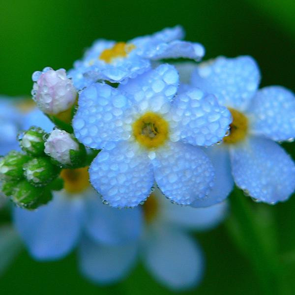 Myosotis Sylvatica Grass Seeds Green Garden Plant Myosotis perennial herb, racemes, calyx small, 5-lobed; blue, yellow throat, long flowering, shade, moisture, compact and beautiful plants, commonly used in the arrangement of the spring or early summer fl #plant